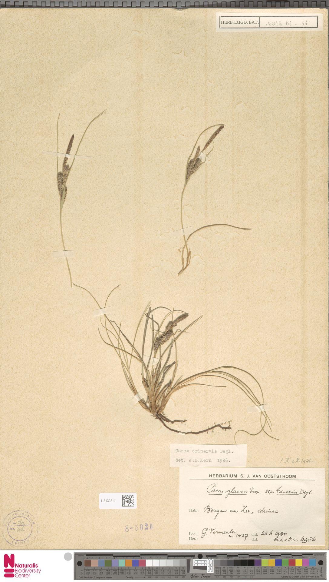 L.3132211 | Carex trinervis Degl.