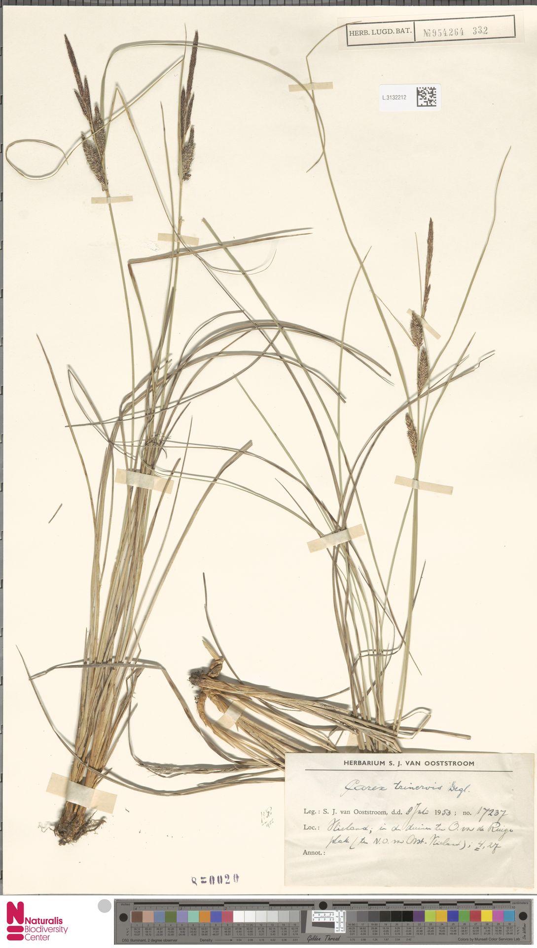 L.3132212 | Carex trinervis Degl.