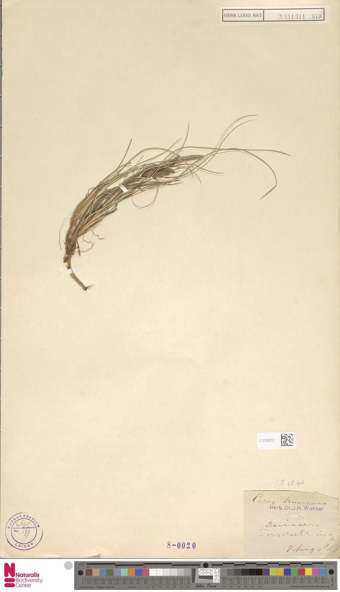 L.3132217   Carex trinervis Degl.