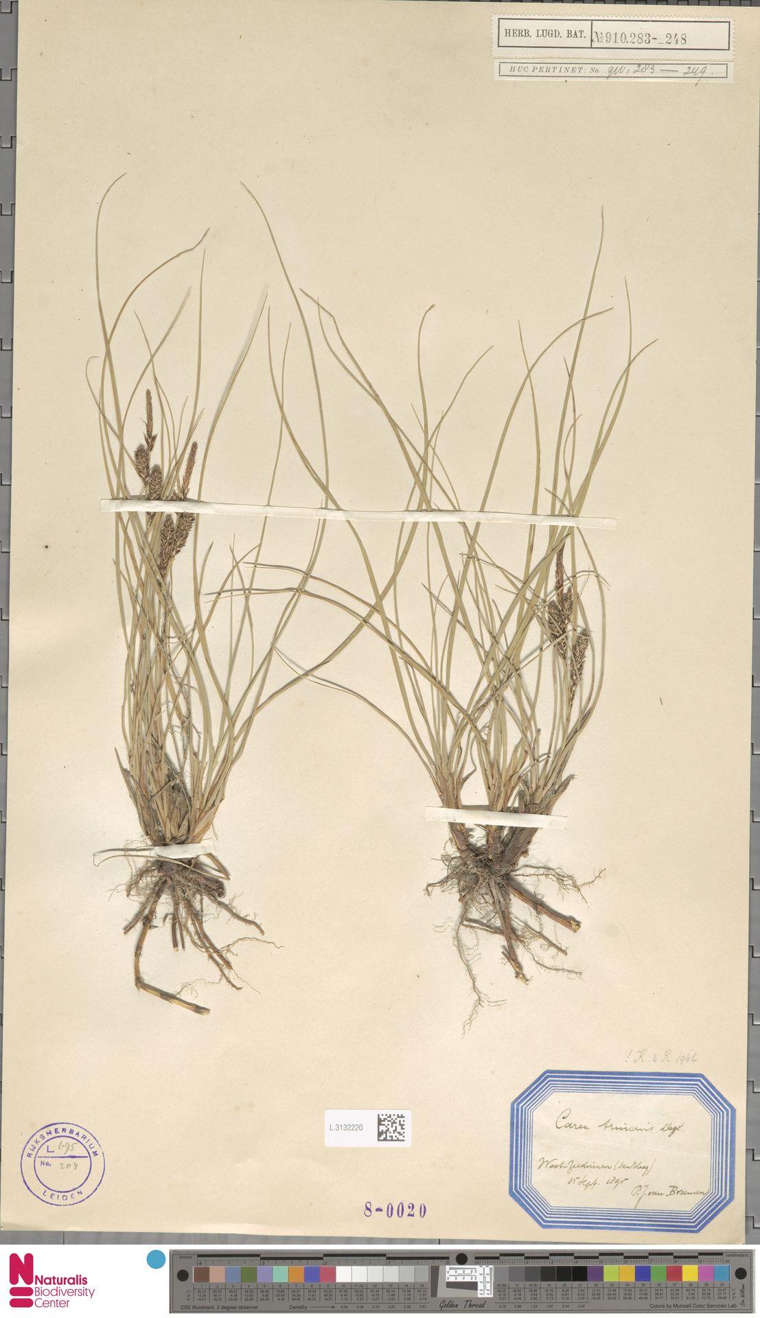 L.3132220 | Carex trinervis Degl.
