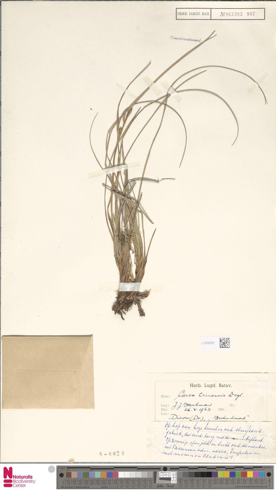 L.3132222 | Carex trinervis Degl.