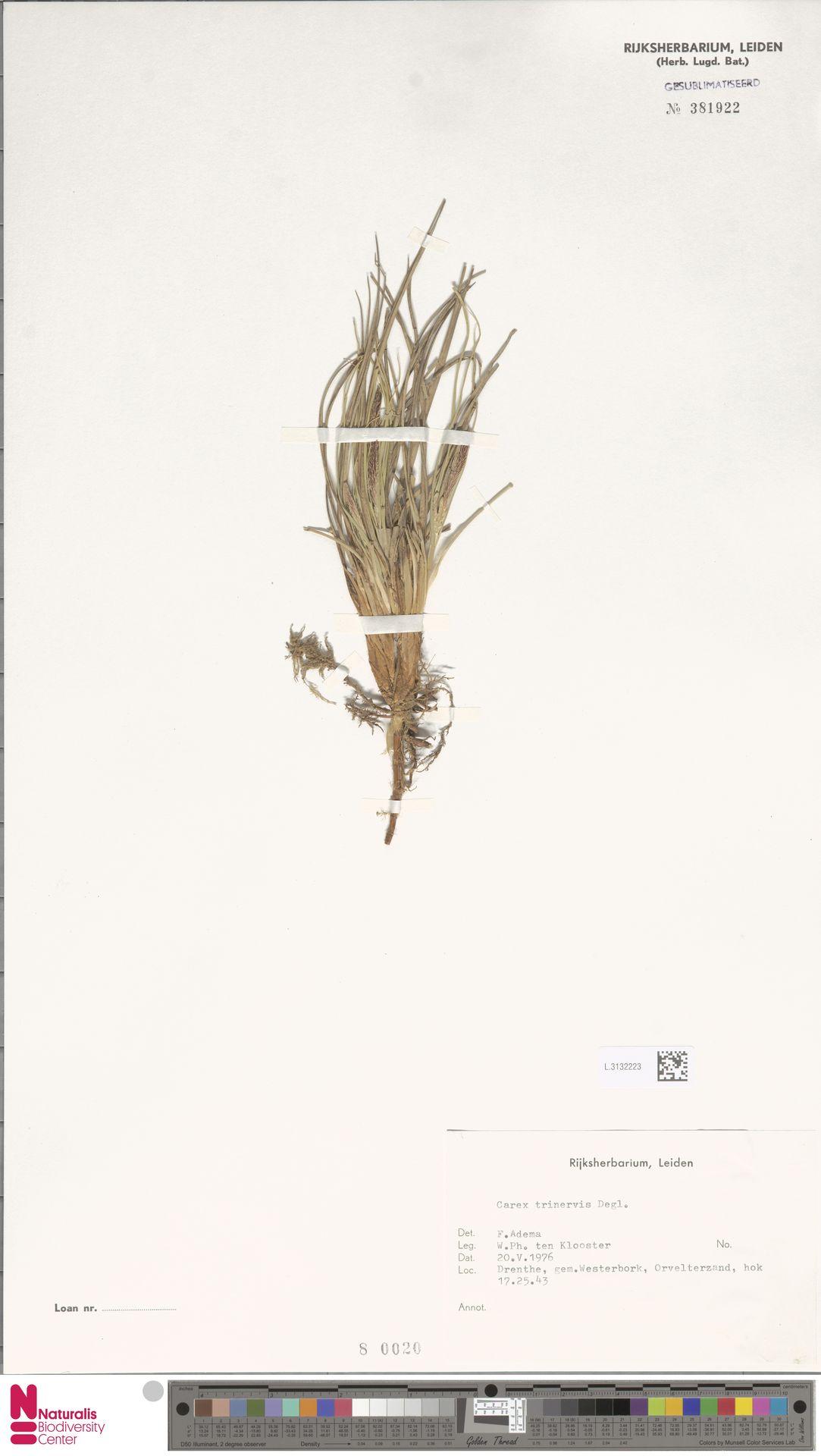 L.3132223 | Carex trinervis Degl.