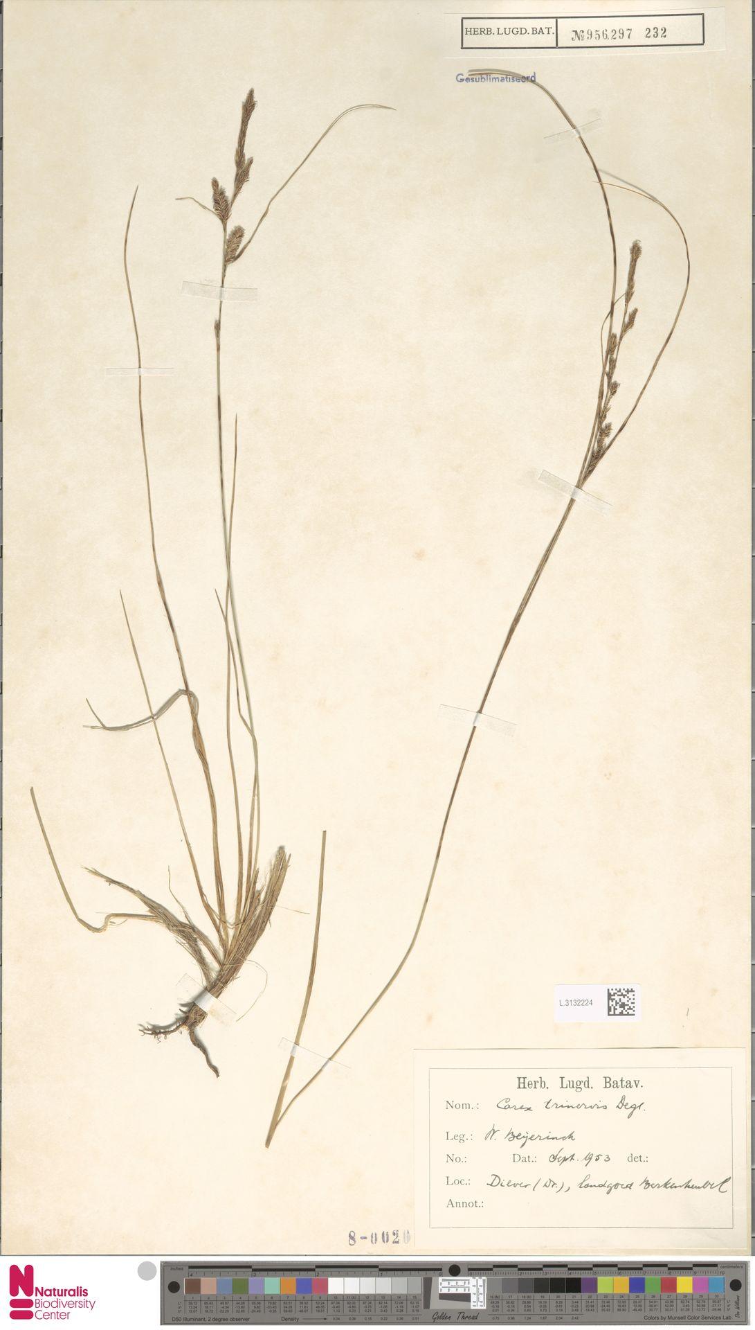 L.3132224   Carex trinervis Degl.