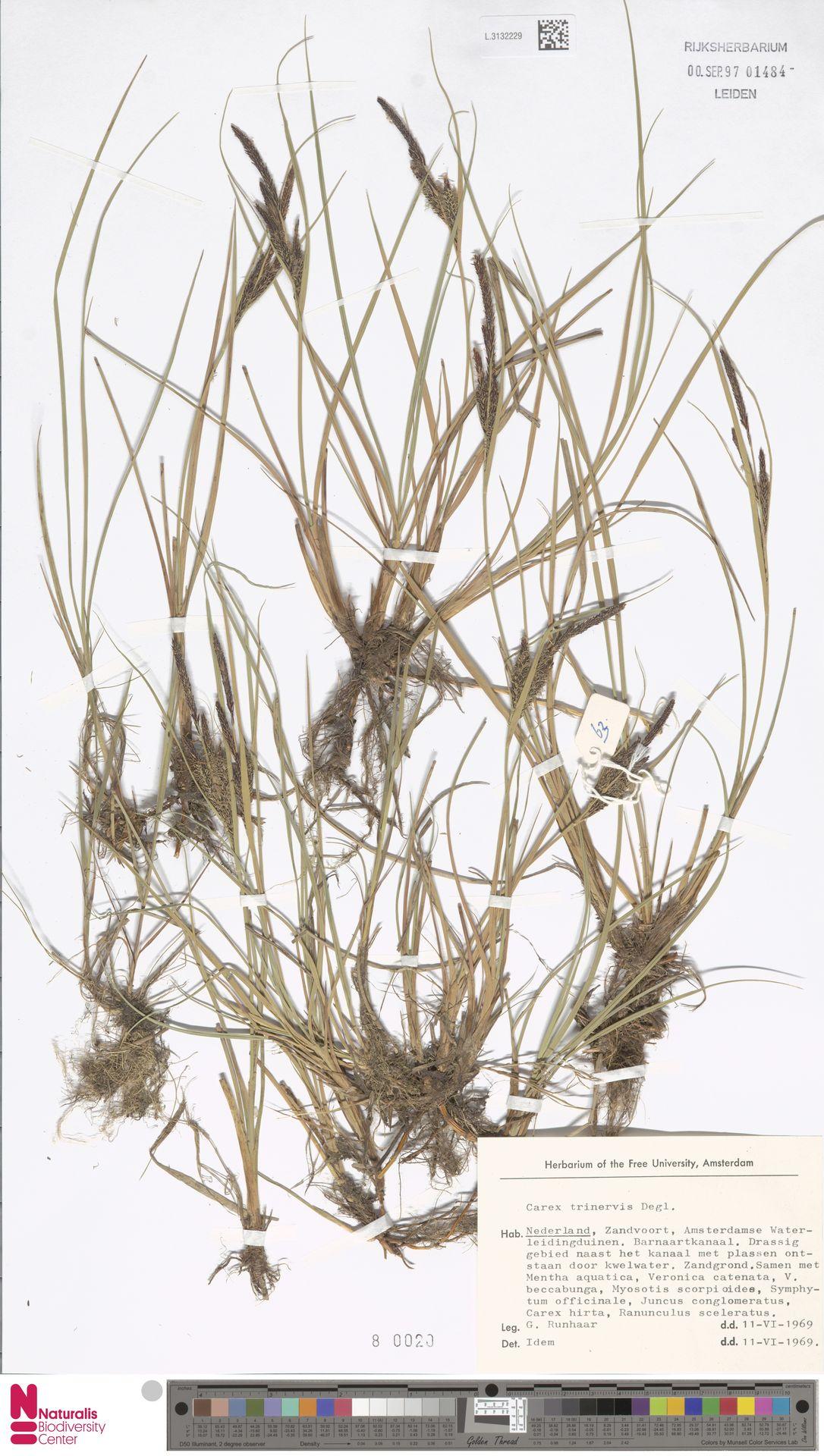 L.3132229 | Carex trinervis Degl.