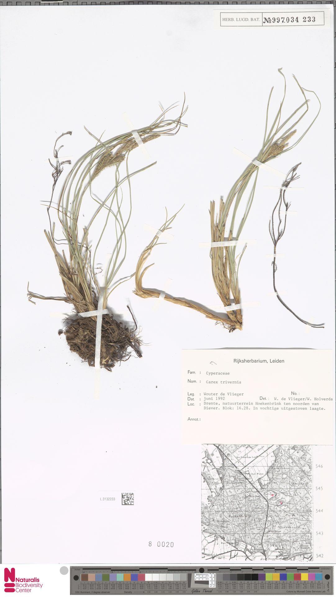 L.3132233 | Carex trinervis Degl.