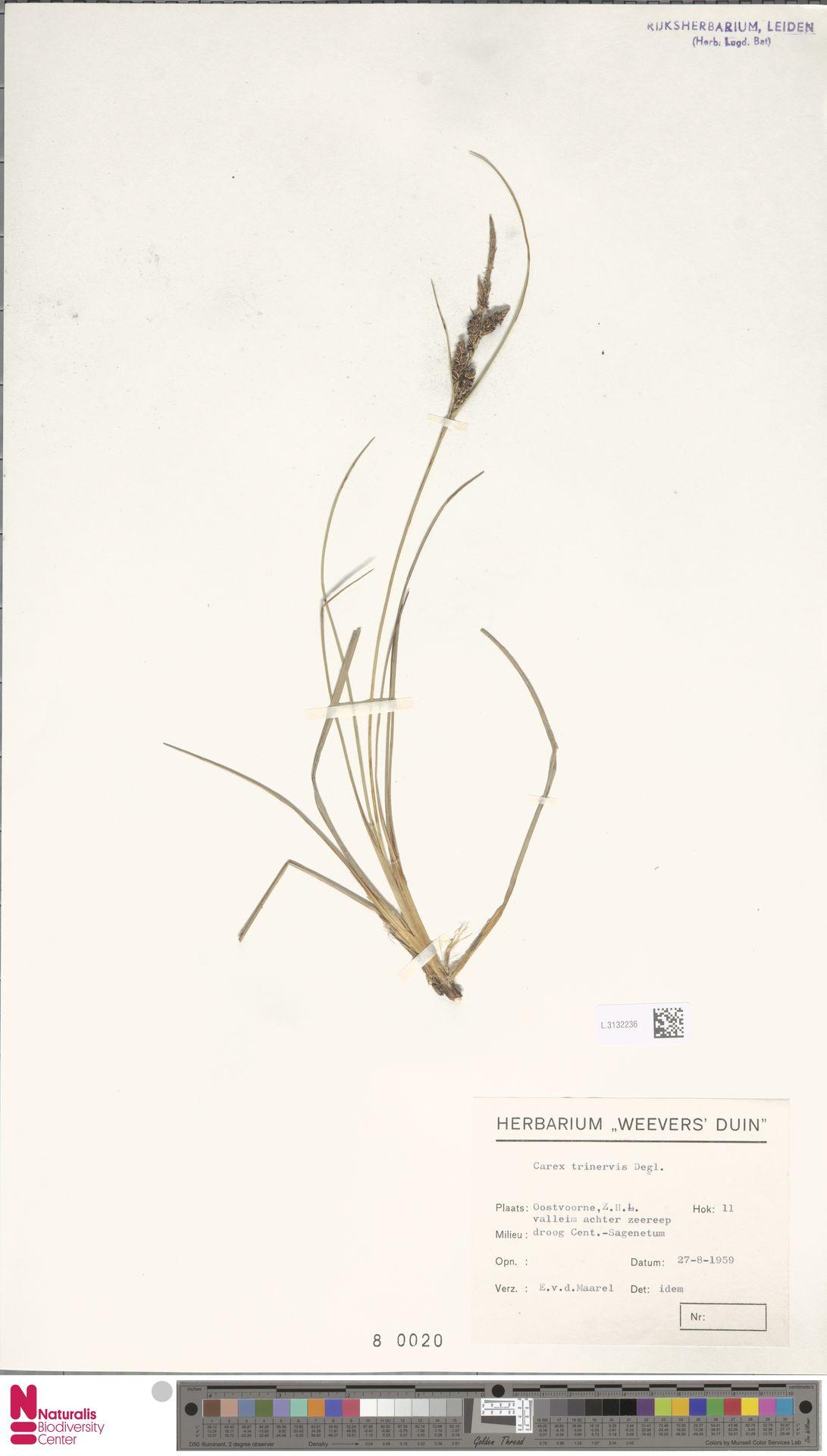 L.3132236 | Carex trinervis Degl.