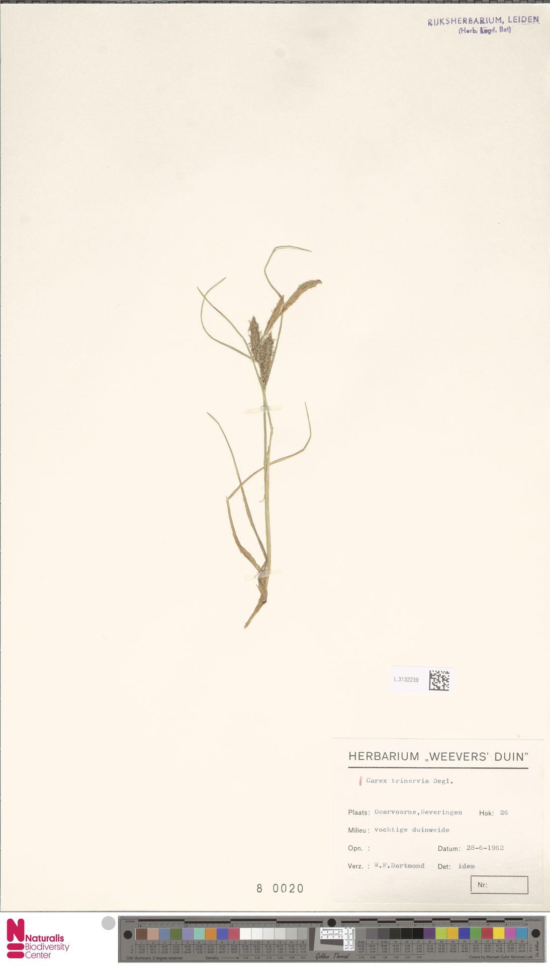 L.3132239 | Carex trinervis Degl.