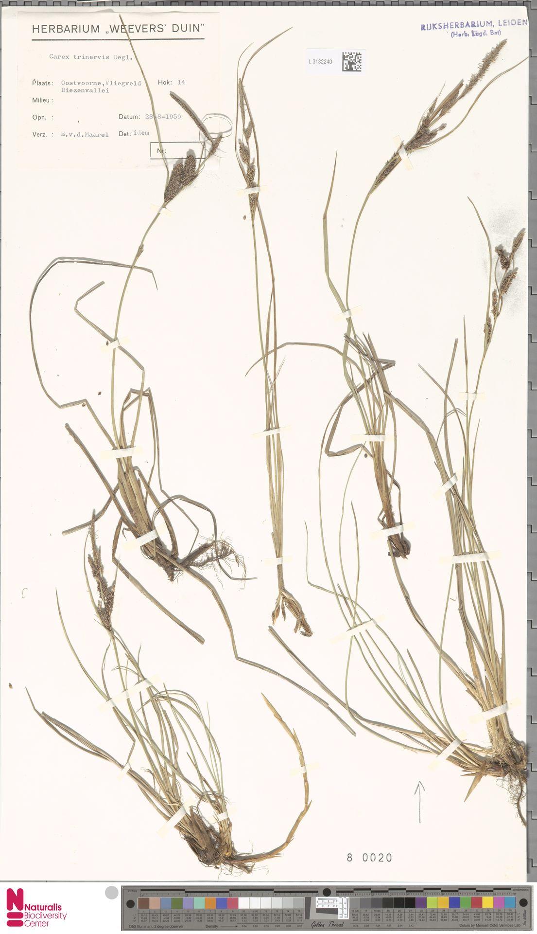 L.3132240 | Carex trinervis Degl.