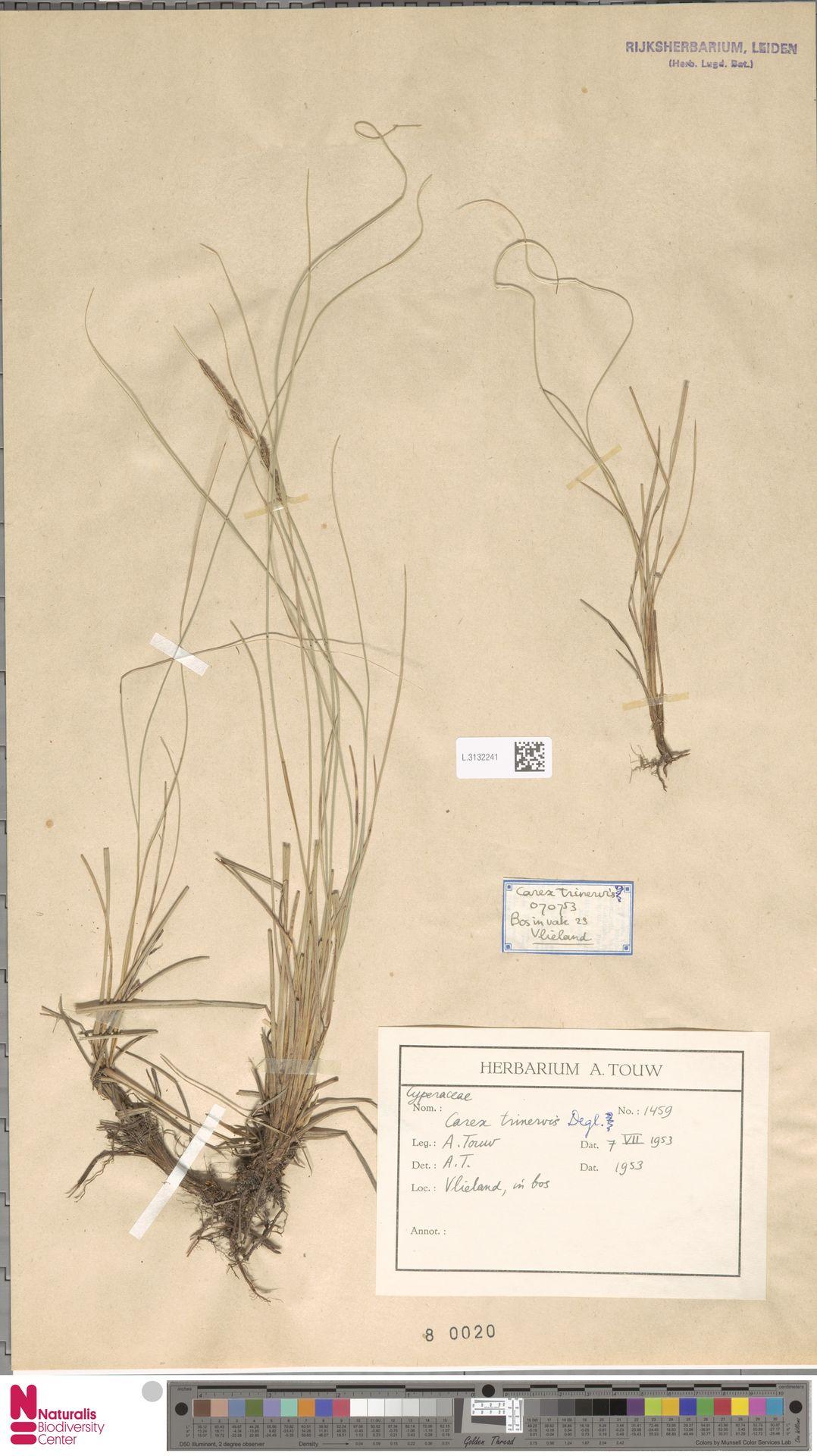 L.3132241 | Carex trinervis Degl.