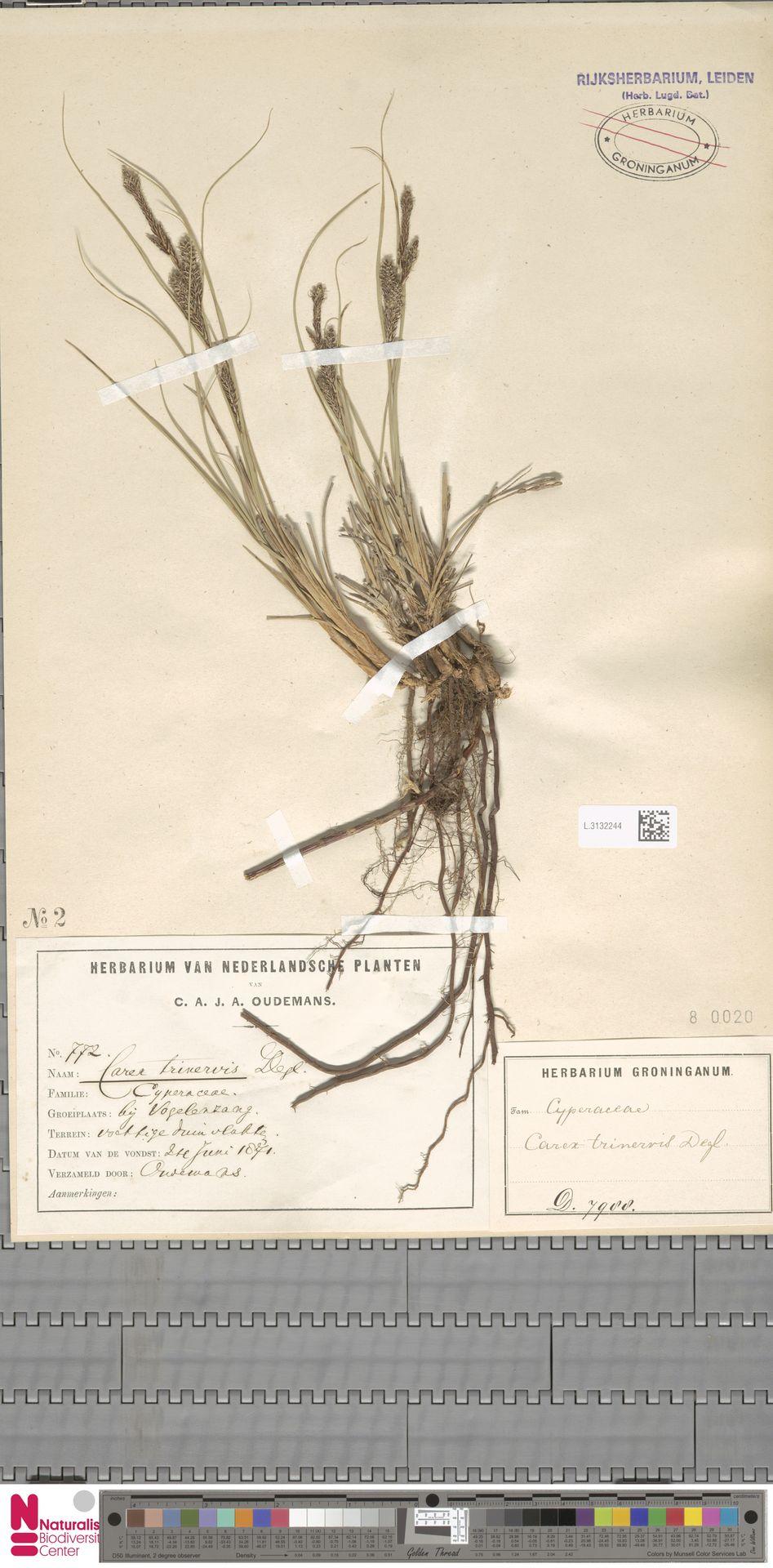 L.3132244 | Carex trinervis Degl.