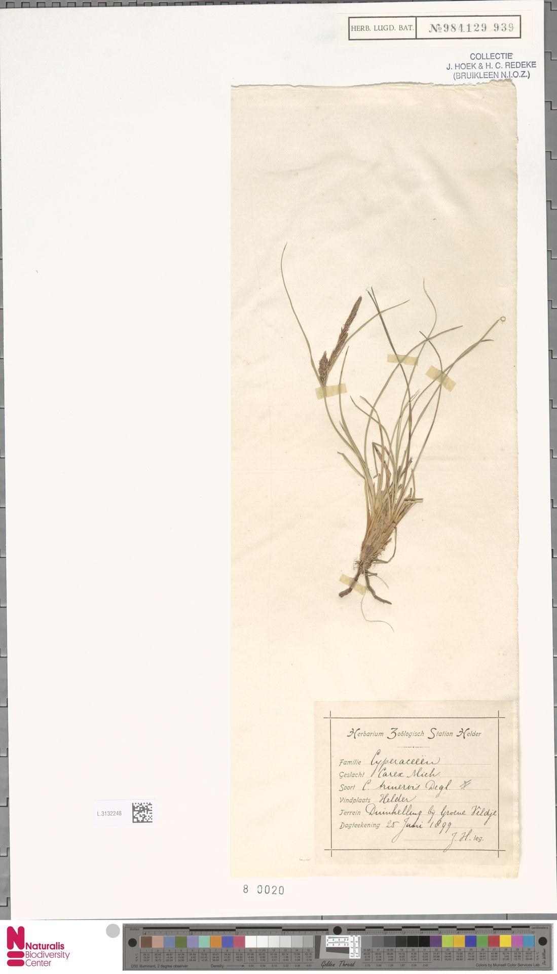 L.3132248 | Carex trinervis Degl.