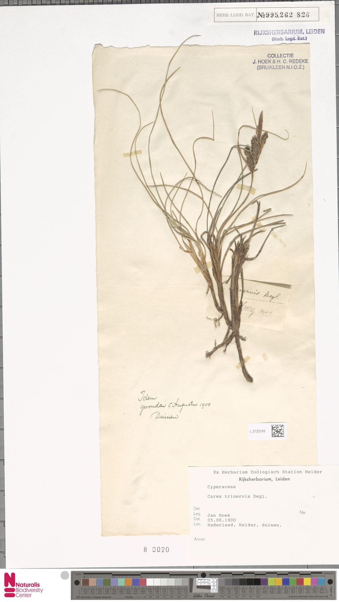 L.3132249 | Carex trinervis Degl.