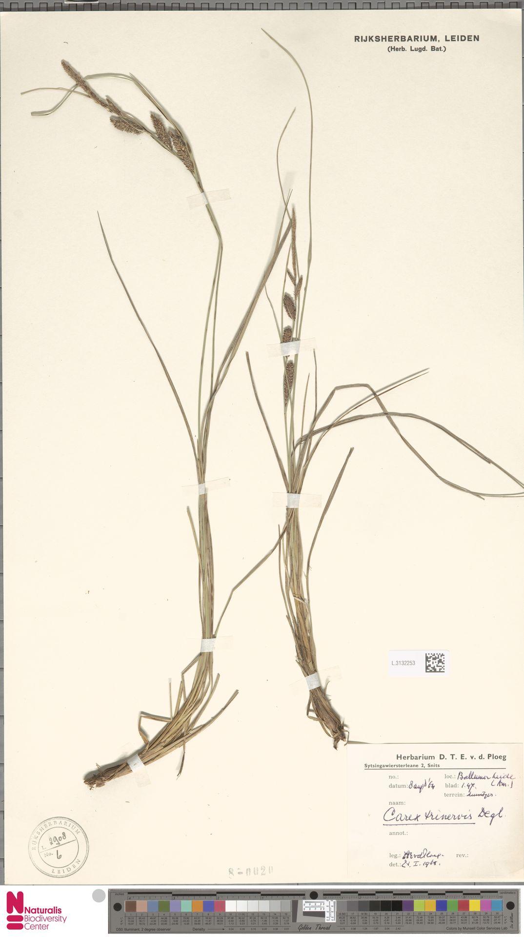 L.3132253   Carex trinervis Degl.
