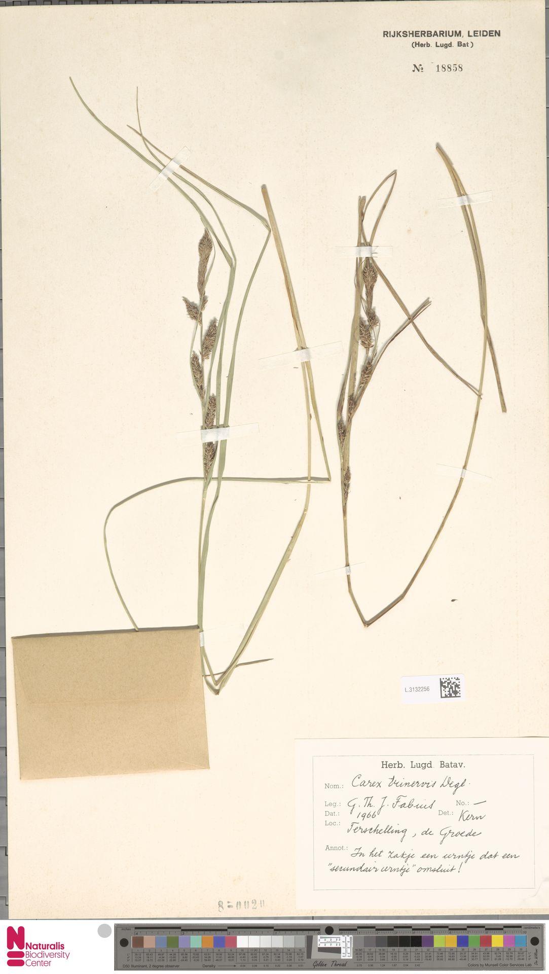 L.3132256 | Carex trinervis Degl.