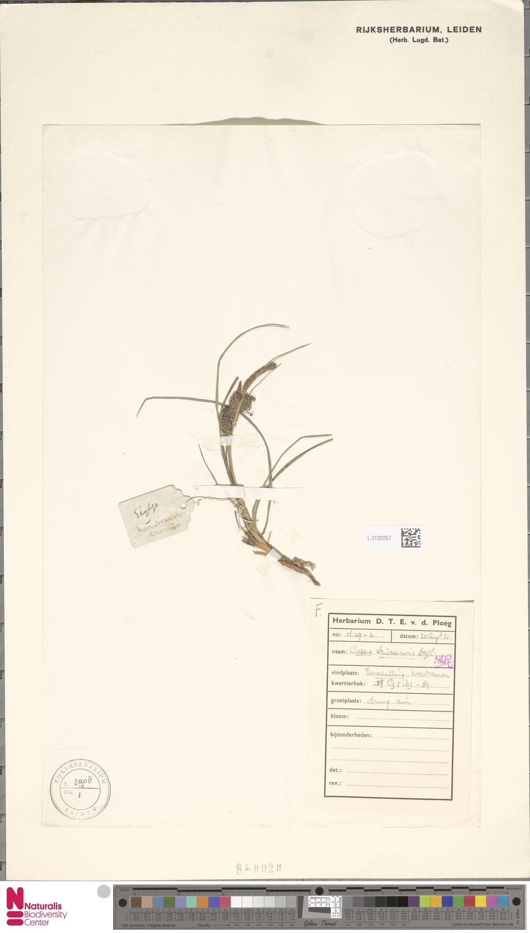 L.3132257 | Carex trinervis Degl.