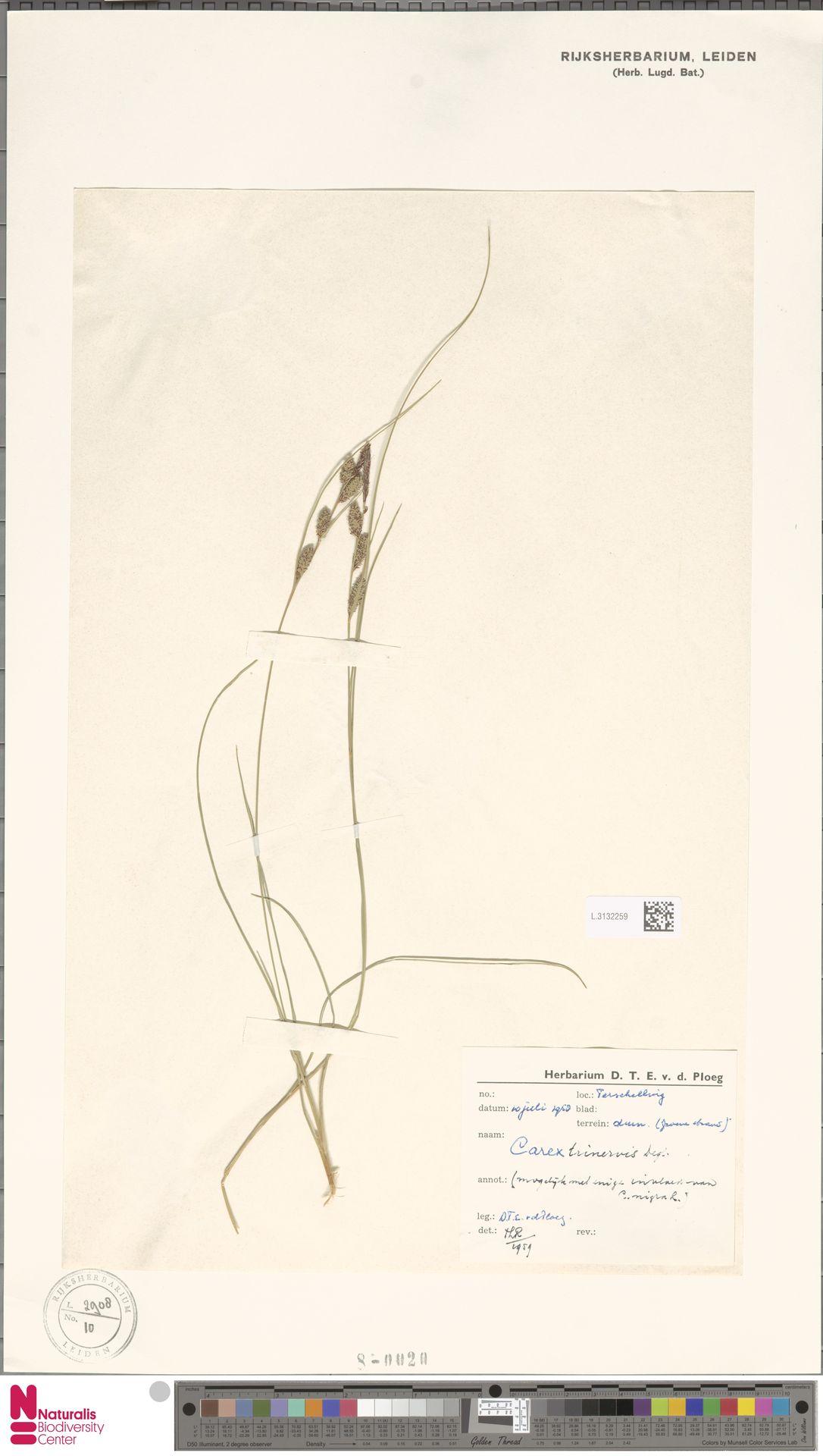 L.3132259   Carex trinervis Degl.
