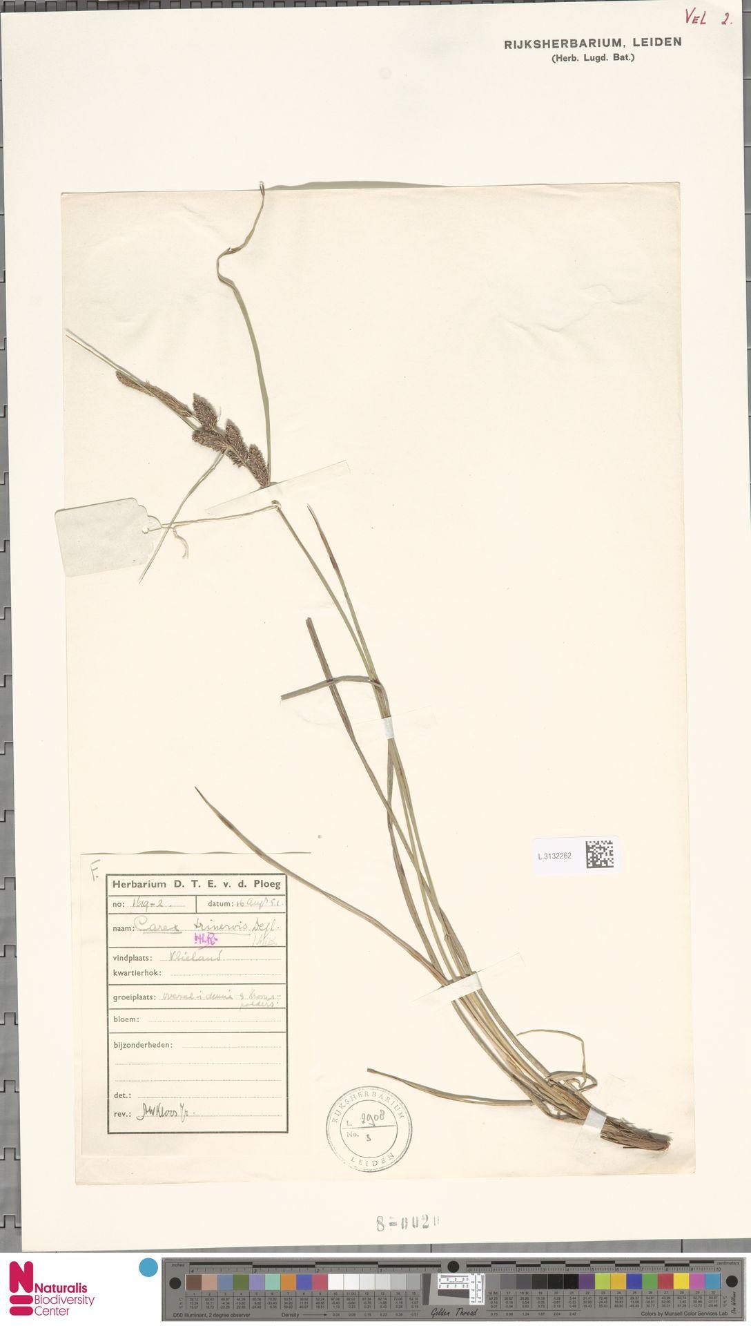 L.3132262 | Carex trinervis Degl.