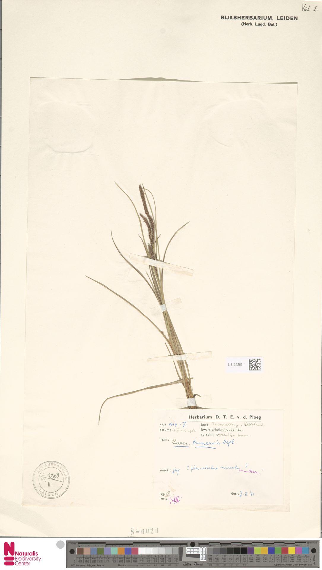 L.3132265 | Carex trinervis Degl.