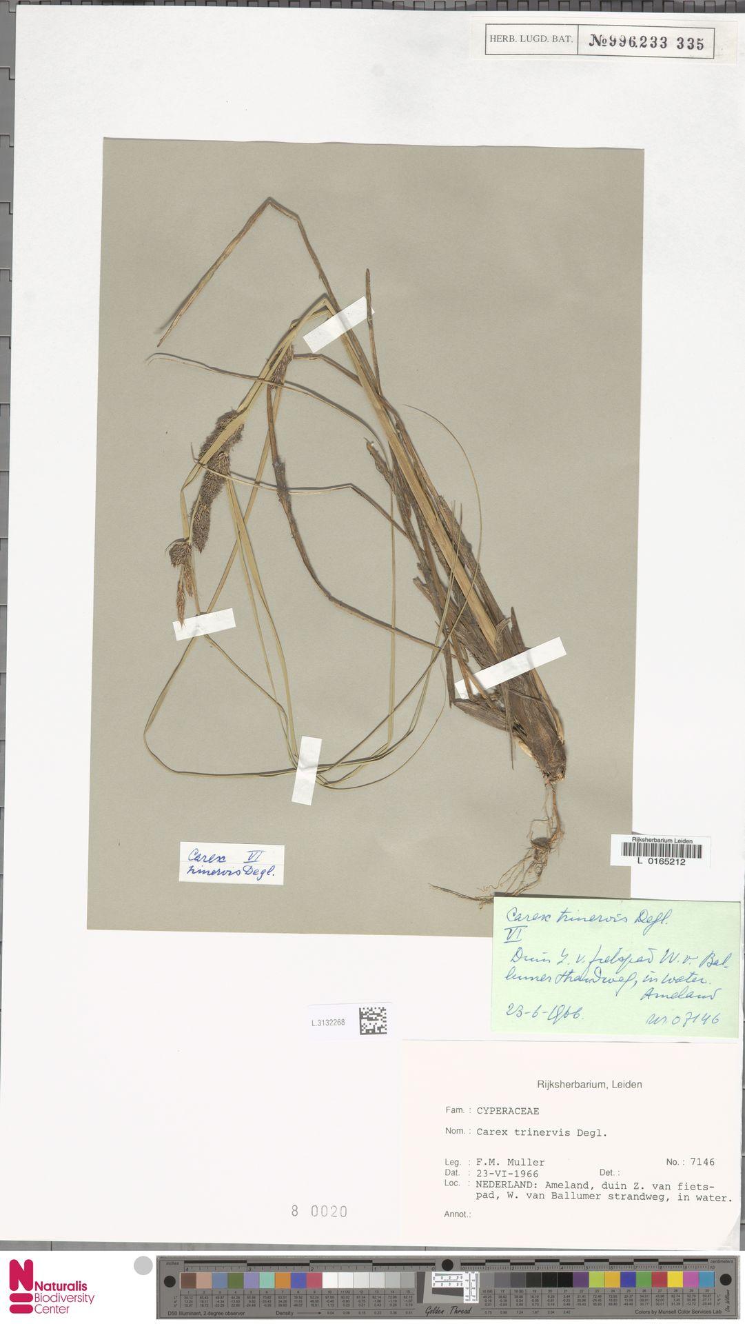L.3132268 | Carex trinervis Degl.