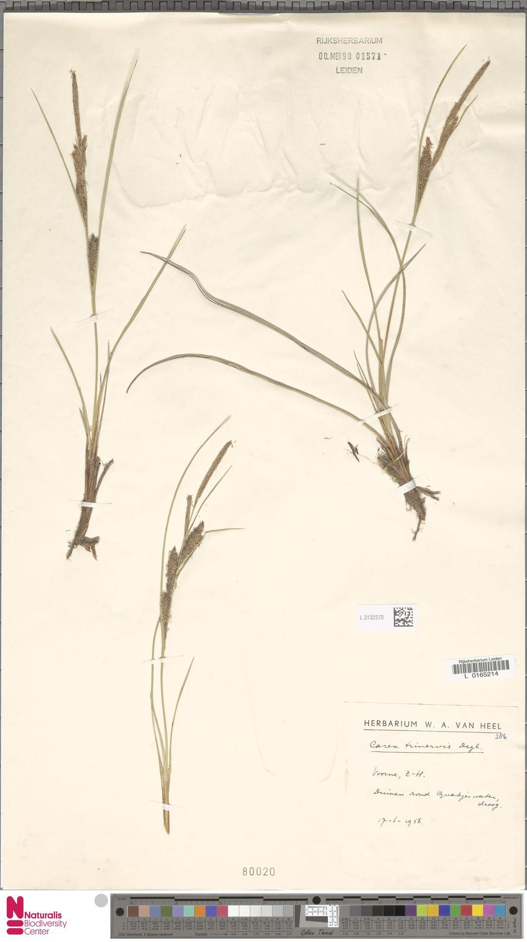 L.3132270   Carex trinervis Degl.