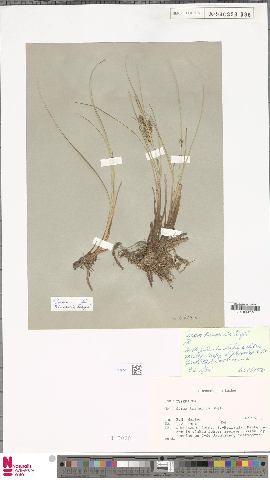 L.3132271 | Carex trinervis Degl.