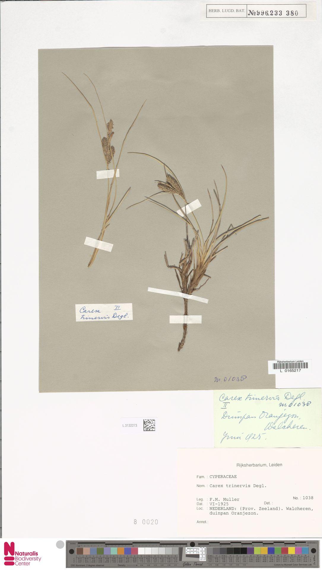 L.3132273 | Carex trinervis Degl.