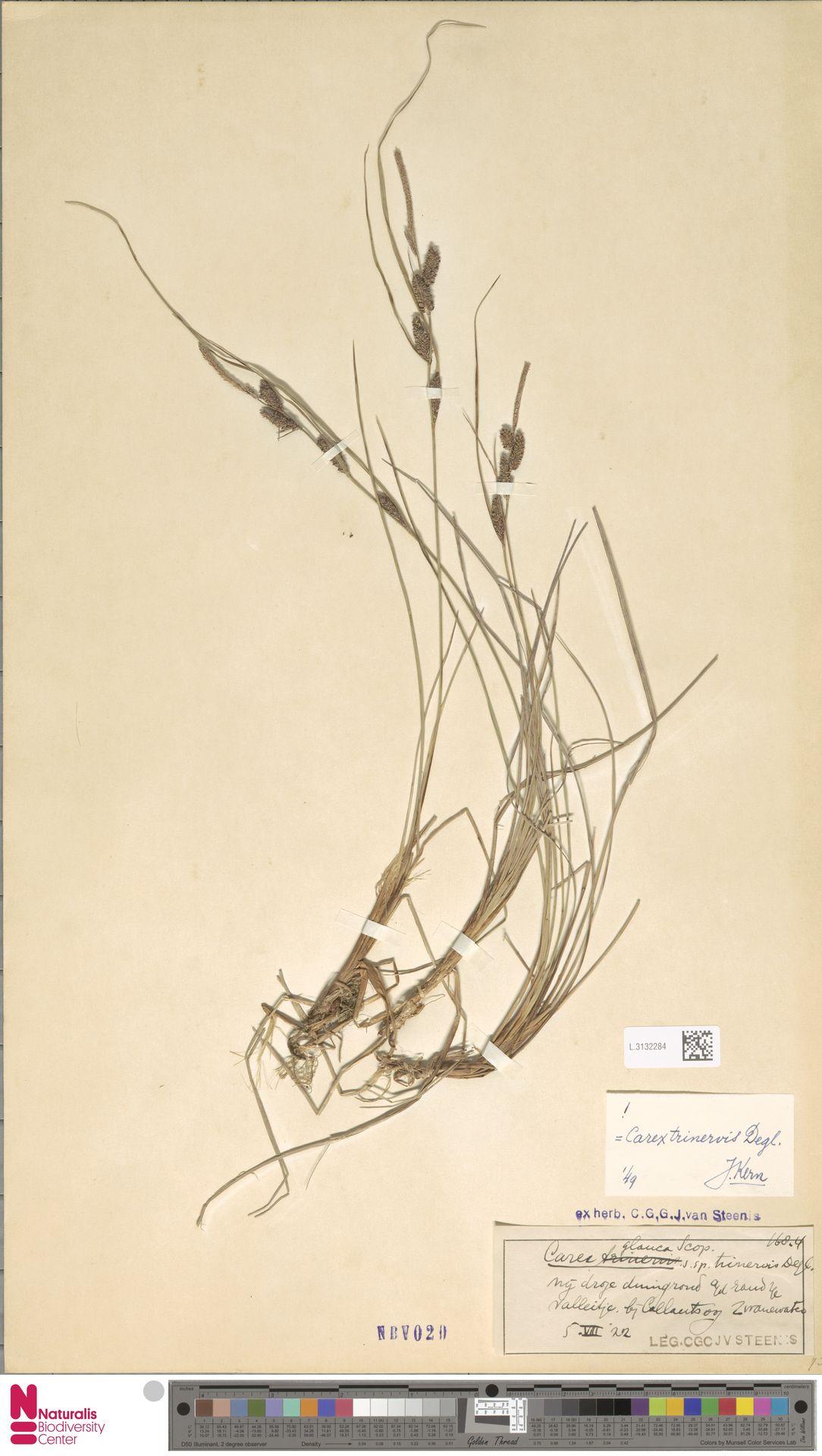 L.3132284 | Carex trinervis Degl.
