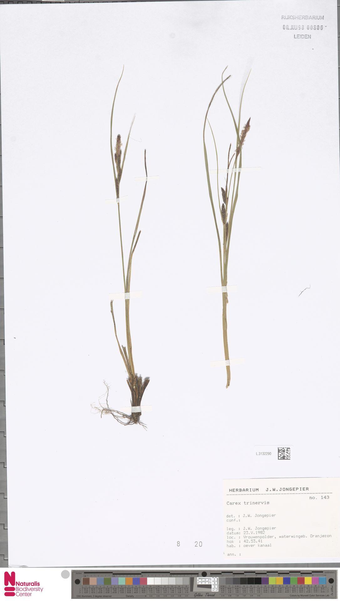 L.3132290 | Carex trinervis Degl.