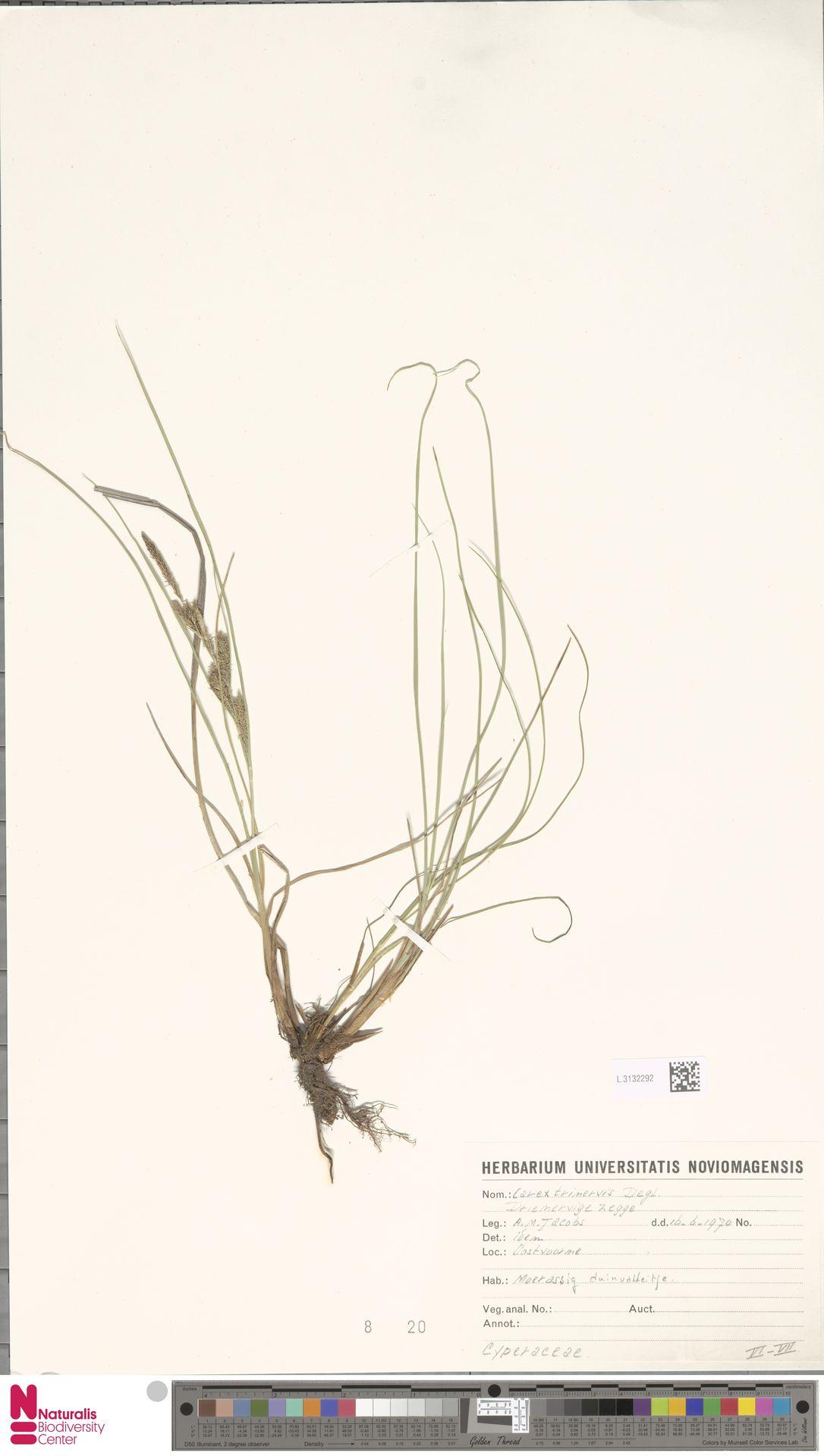 L.3132292 | Carex trinervis Degl.