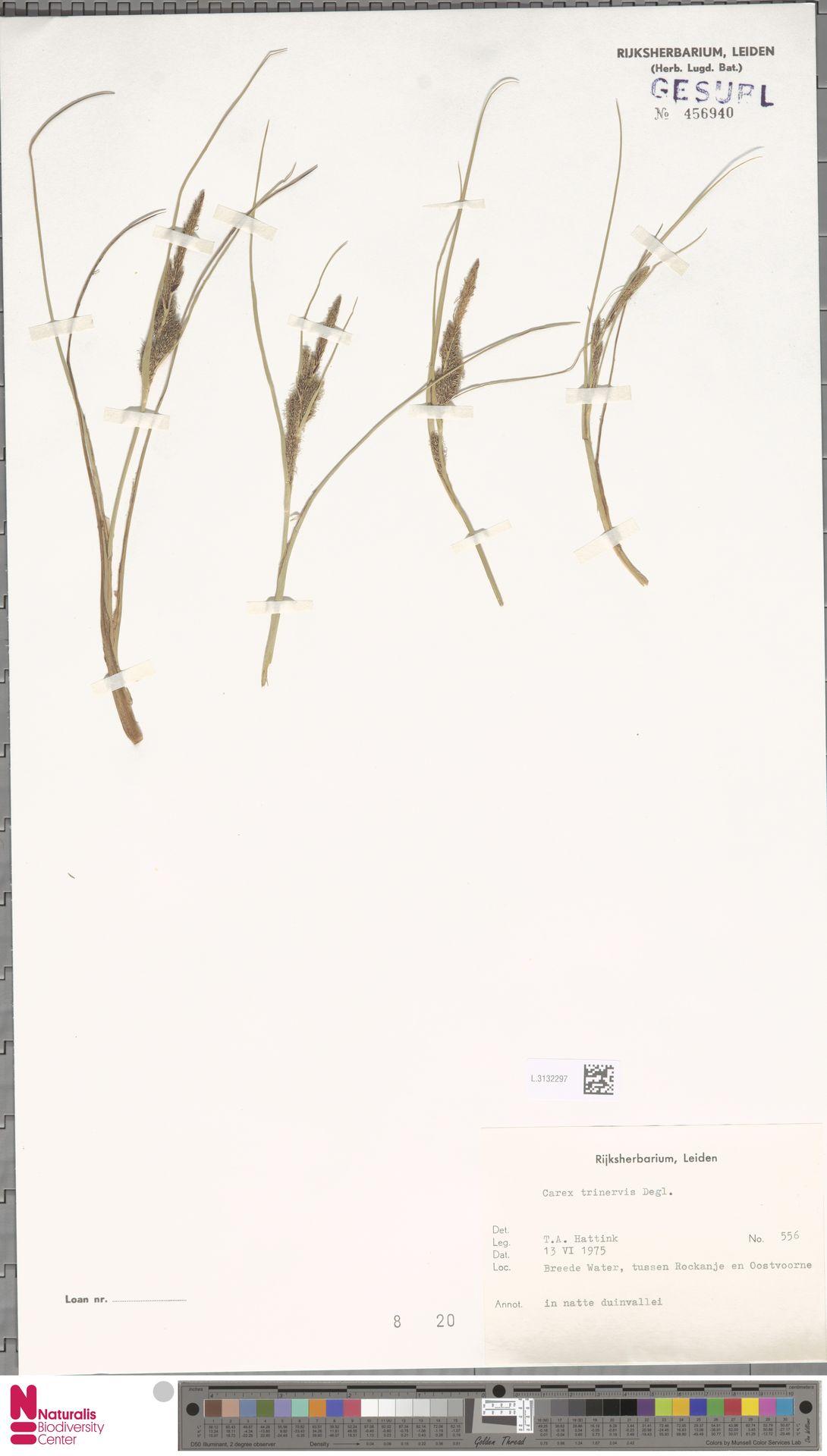 L.3132297   Carex trinervis Degl.