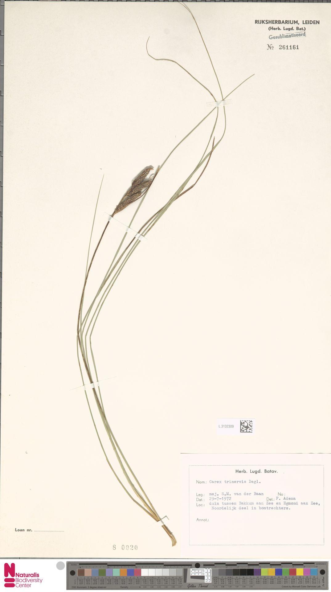 L.3132309   Carex trinervis Degl.