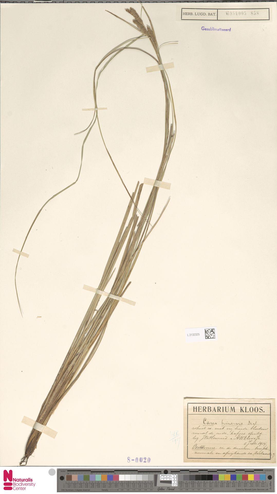 L.3132325 | Carex trinervis Degl.