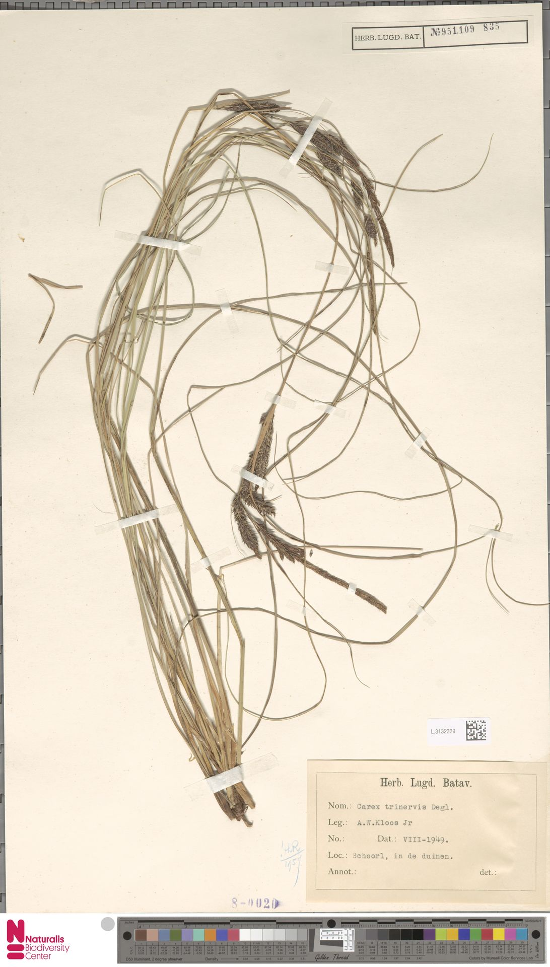 L.3132329   Carex trinervis Degl.