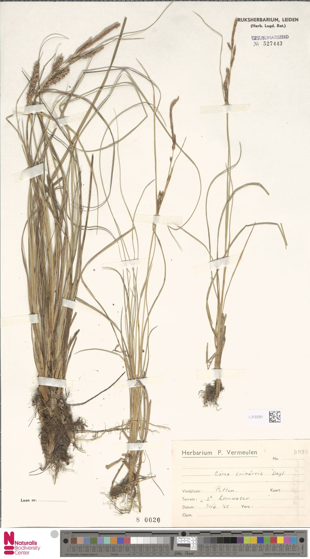 L.3132351 | Carex trinervis Degl.