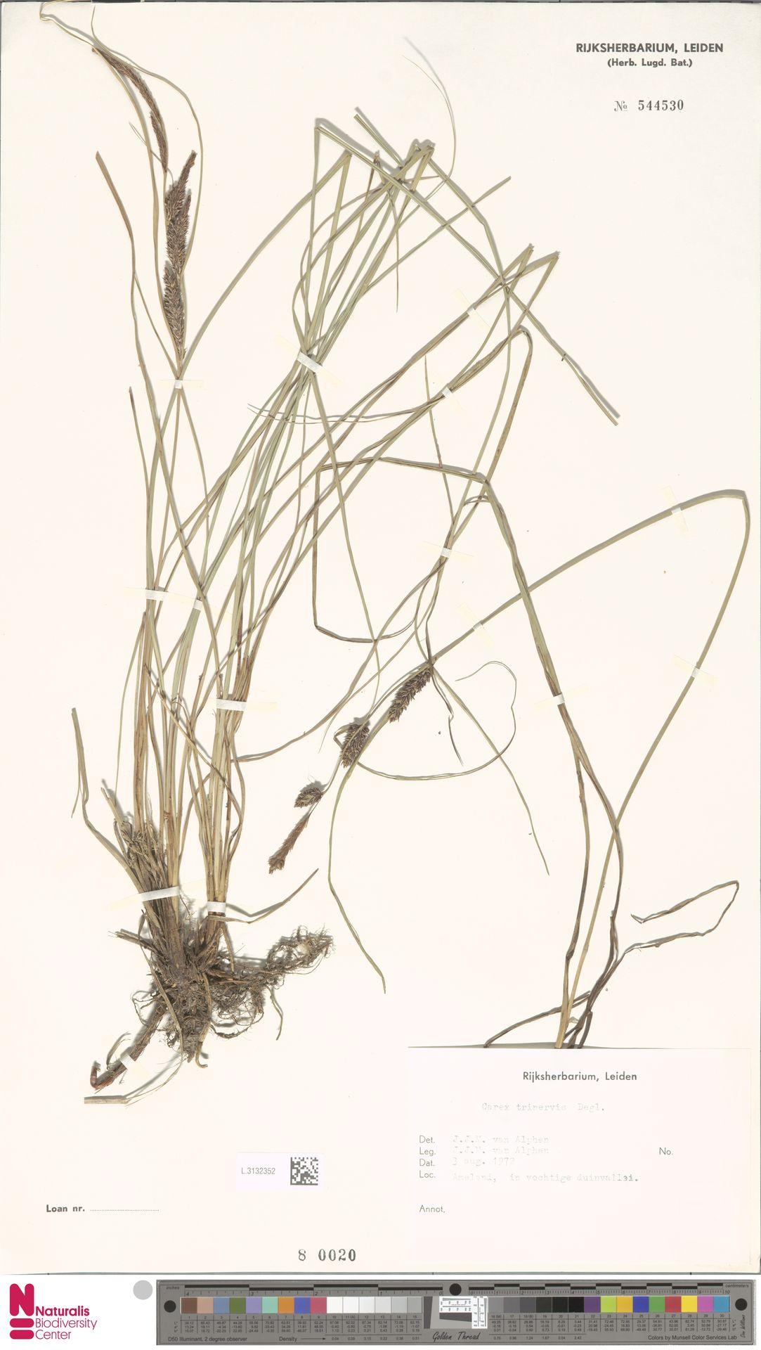 L.3132352 | Carex trinervis Degl.