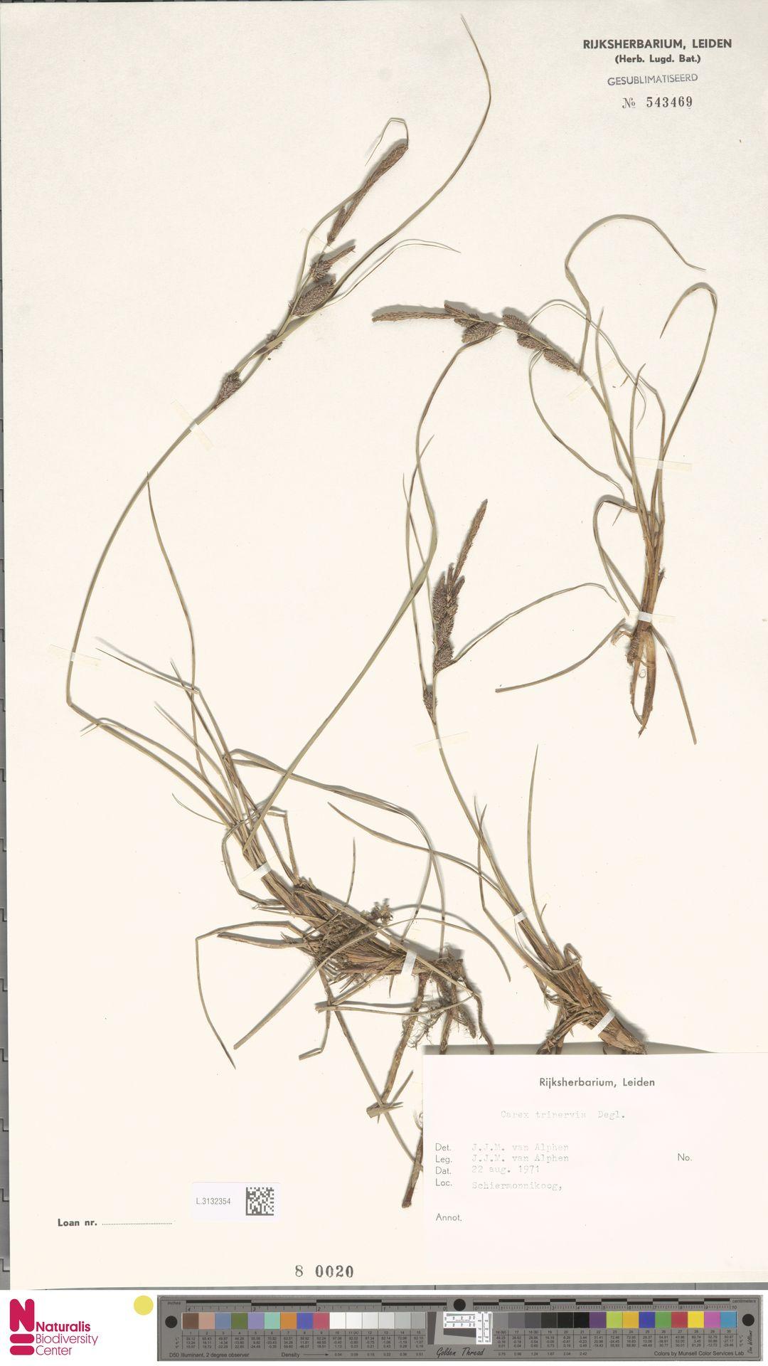 L.3132354 | Carex trinervis Degl.