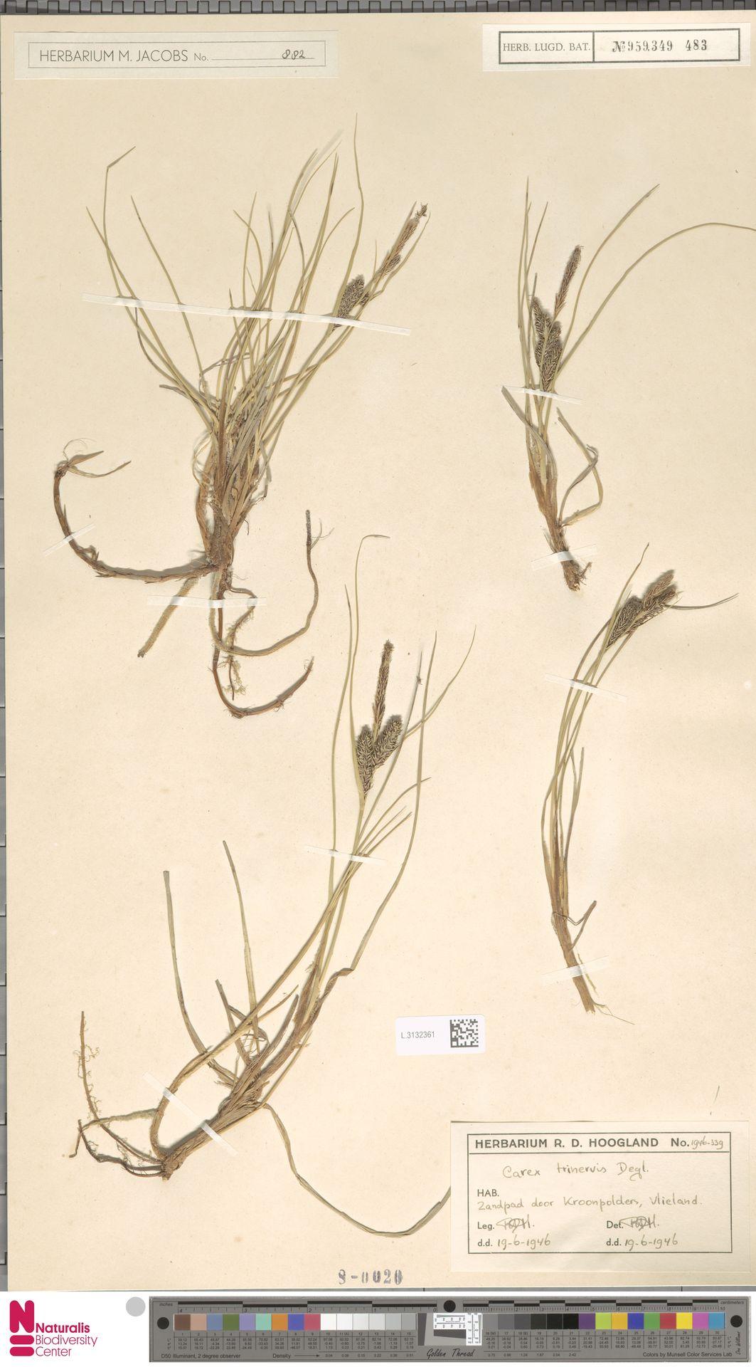 L.3132361 | Carex trinervis Degl.