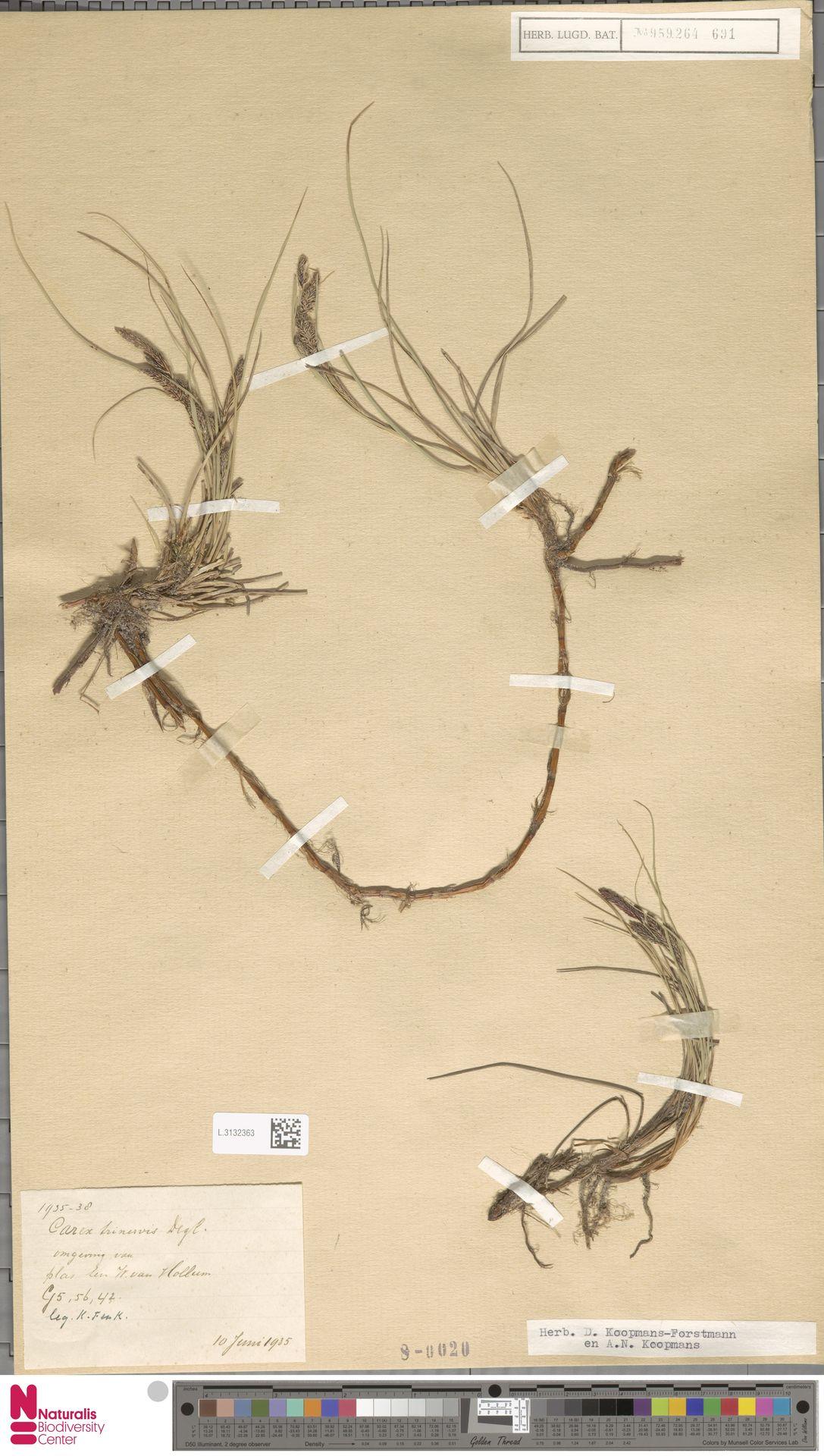 L.3132363 | Carex trinervis Degl.