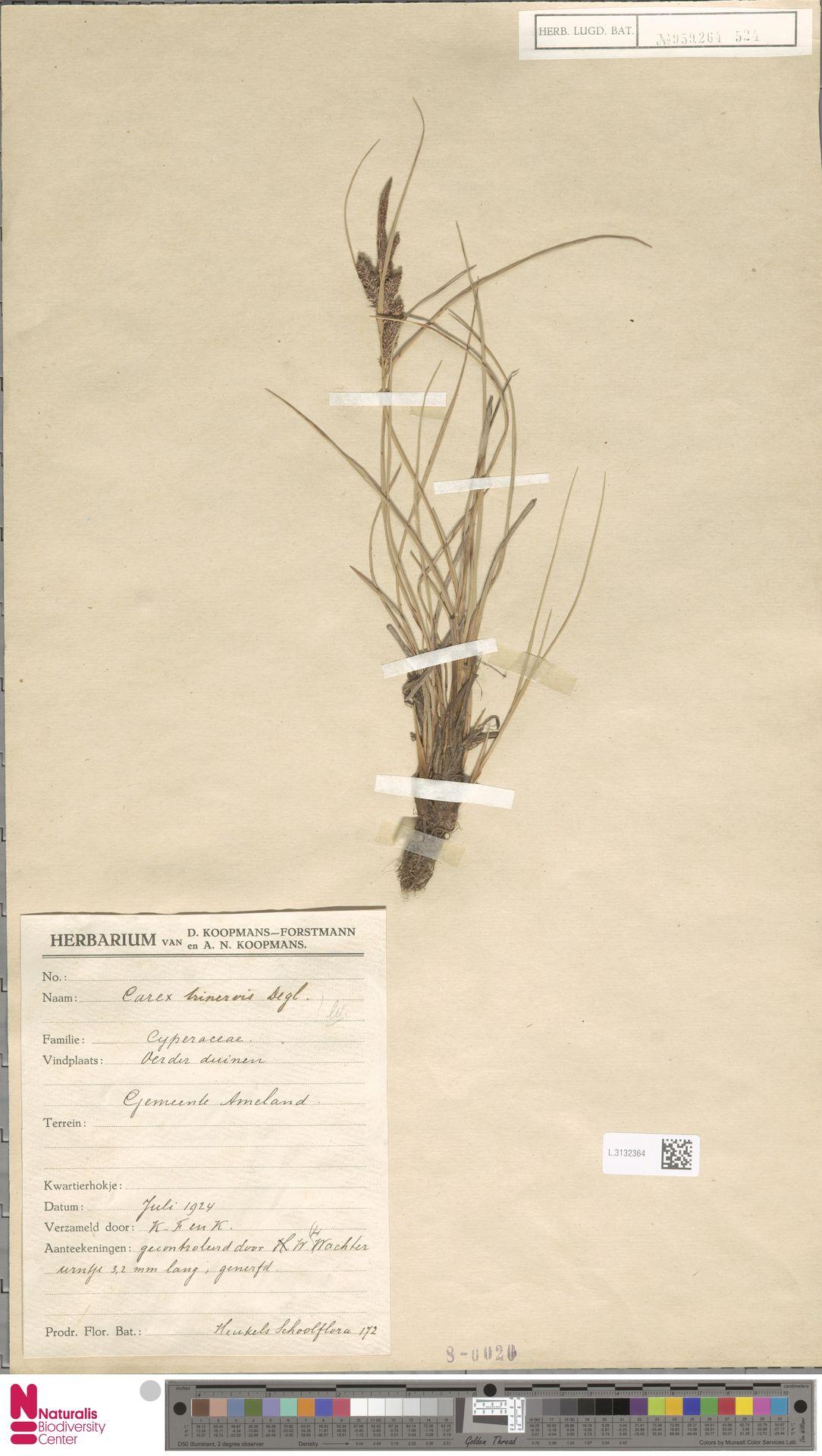 L.3132364   Carex trinervis Degl.