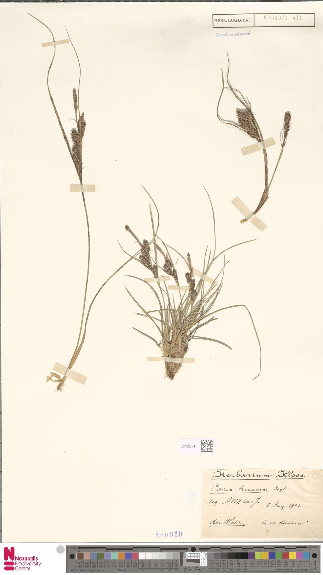 L.3132374 | Carex trinervis Degl.