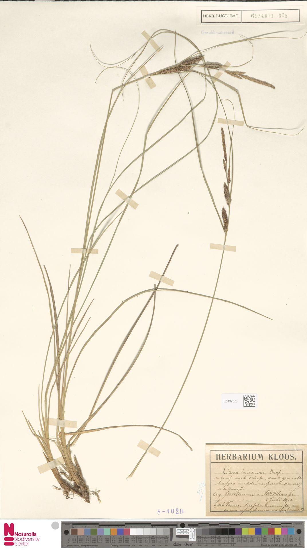 L.3132375   Carex trinervis Degl.