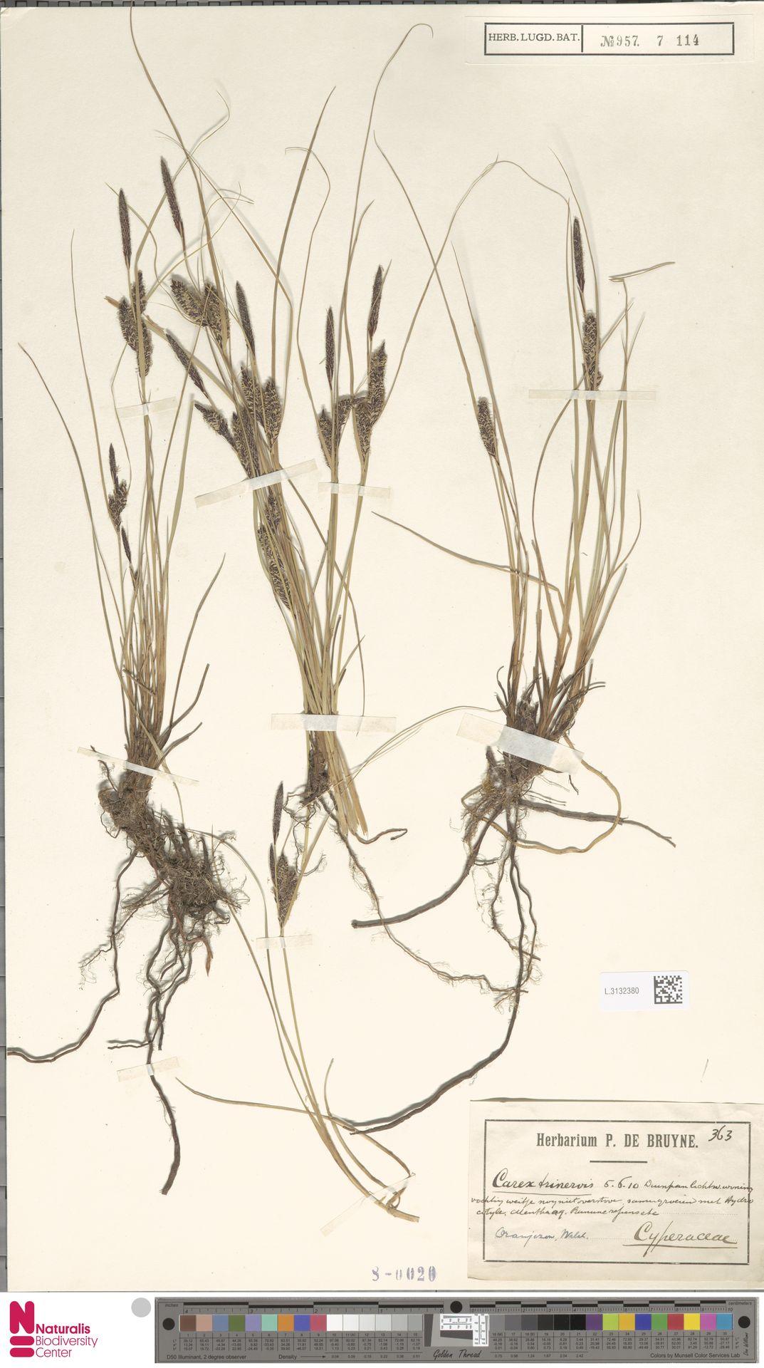 L.3132380 | Carex trinervis Degl.