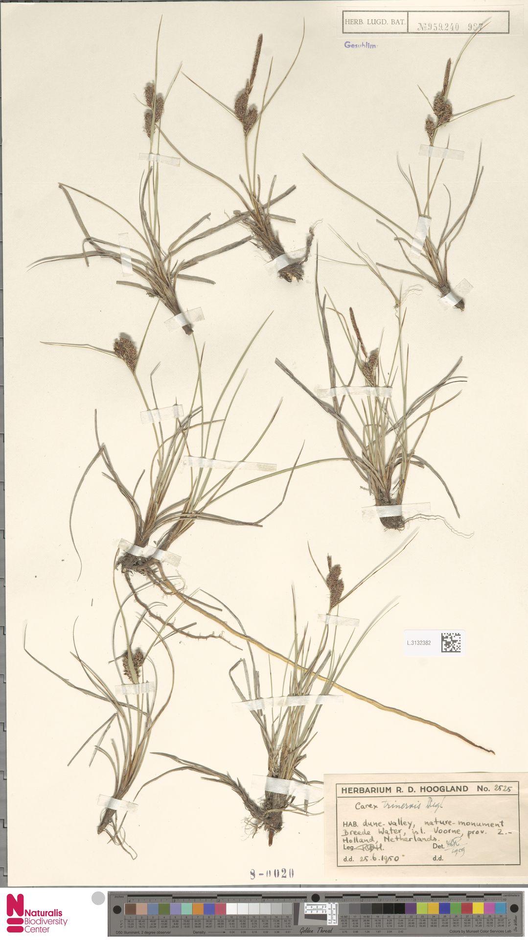 L.3132382 | Carex trinervis Degl.