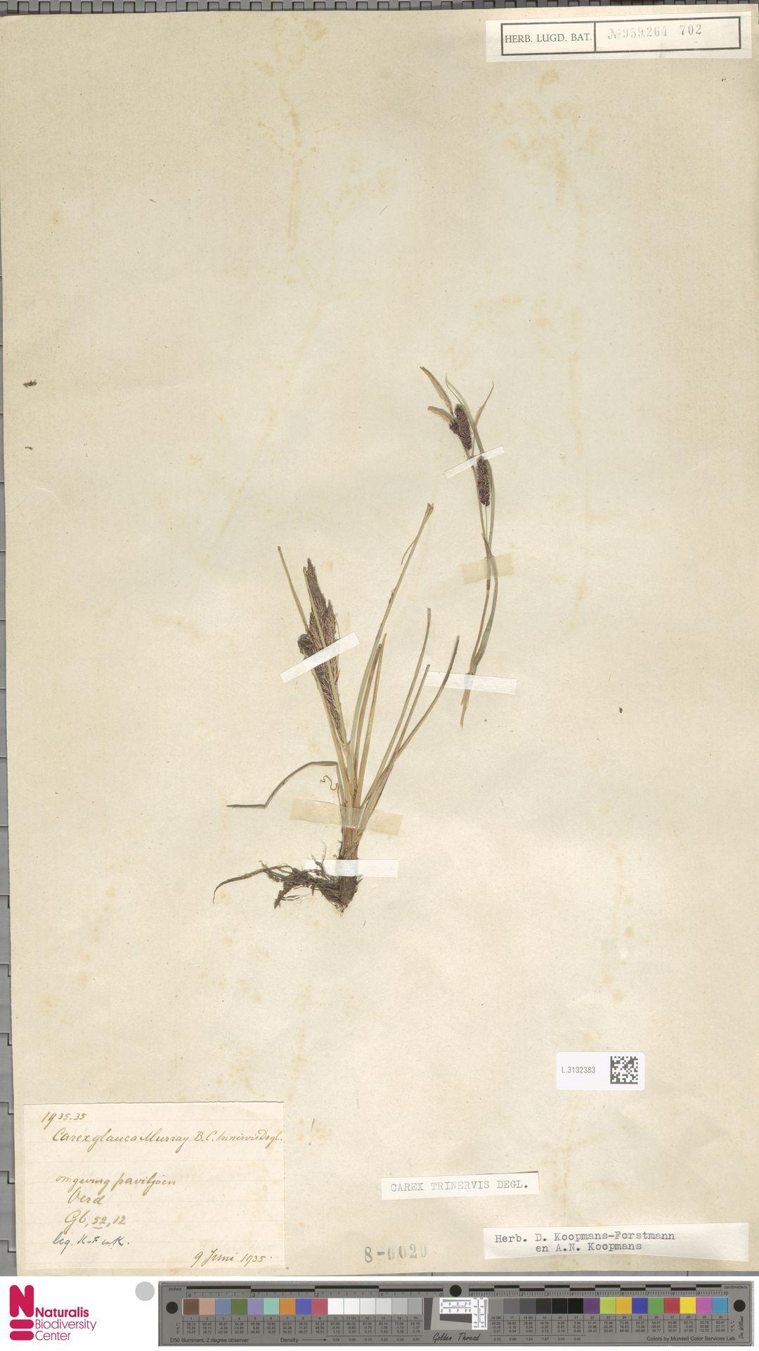 L.3132383   Carex trinervis Degl.