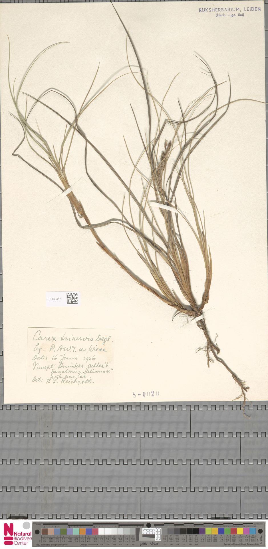 L.3132387 | Carex trinervis Degl.
