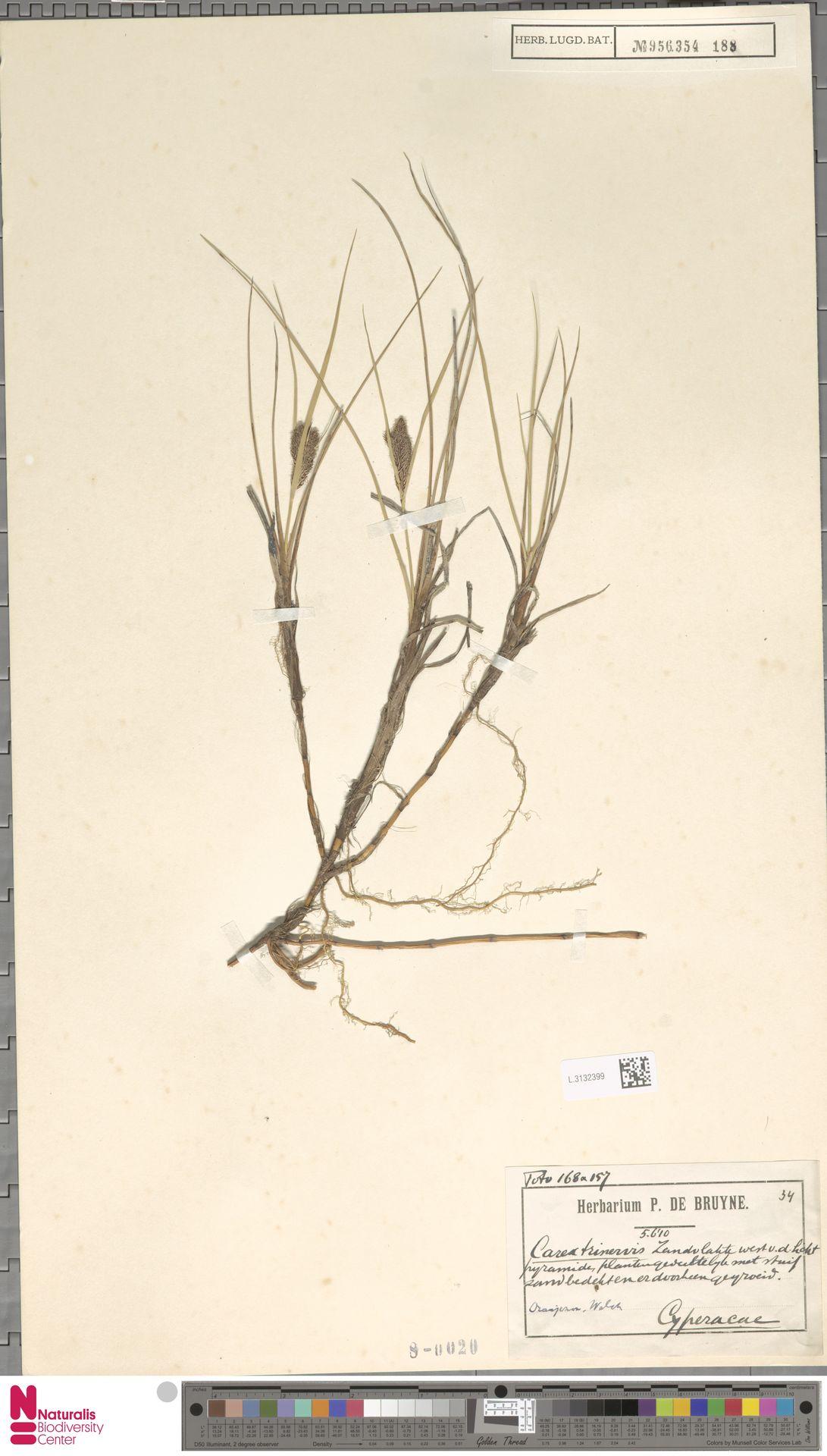 L.3132399 | Carex trinervis Degl.