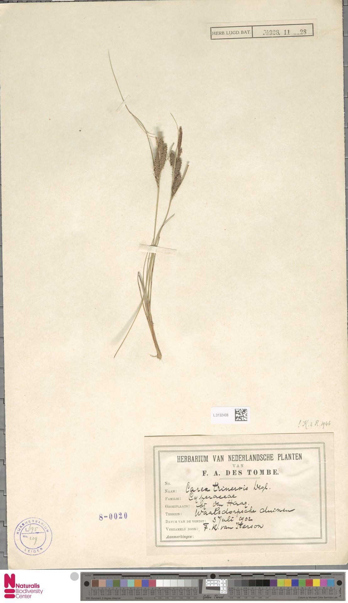 L.3132408 | Carex trinervis Degl.