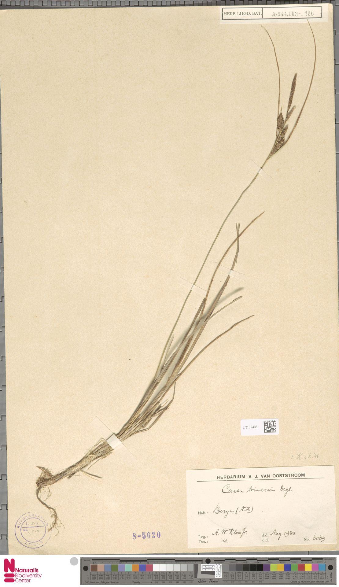 L.3132438   Carex trinervis Degl.