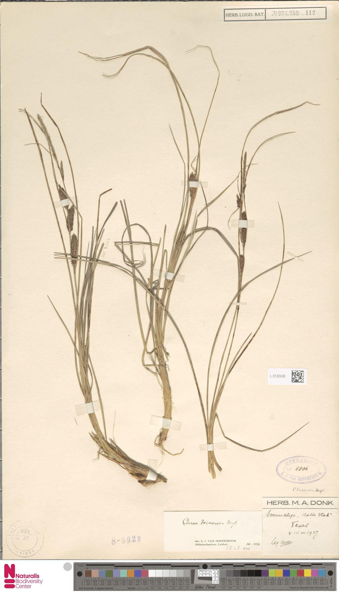 L.3132439 | Carex trinervis Degl.
