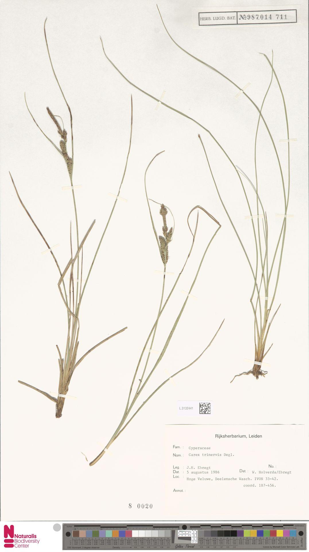 L.3132441   Carex trinervis Degl.